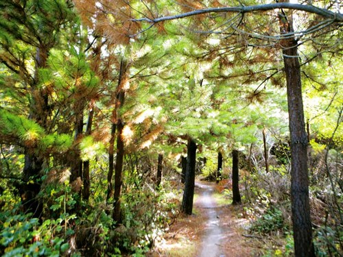 Wilding -pine1