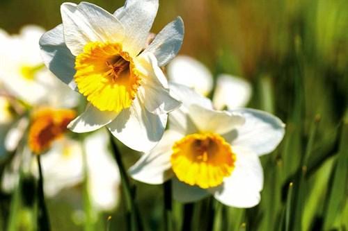 Taniwha _daffodils3