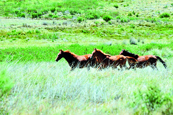 Horse Culling In Victorias High Country