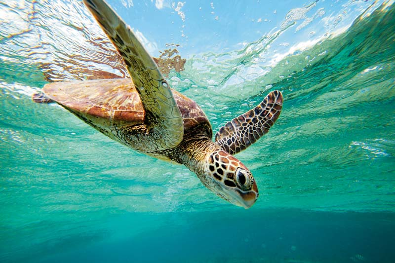 Turtle at Fraser Island