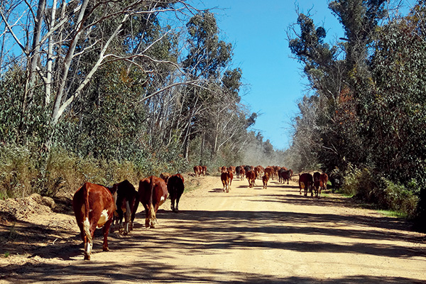 Giving -way -to -cattle -1