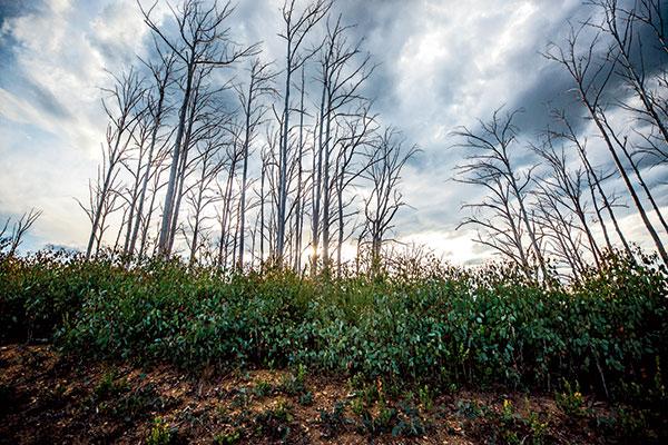 Tall -mountain -ash -trees -on -the -Licola -Jamieson -Road