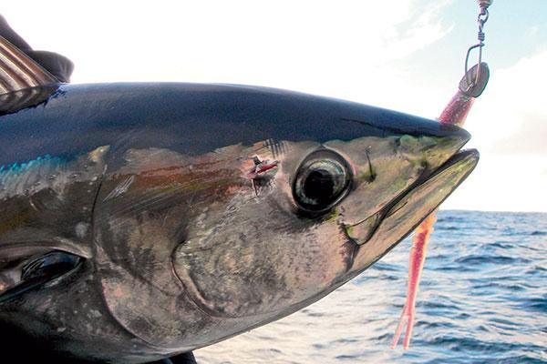 Pelagic -game -fish