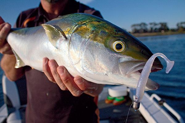 Corio -bay -Kingfish