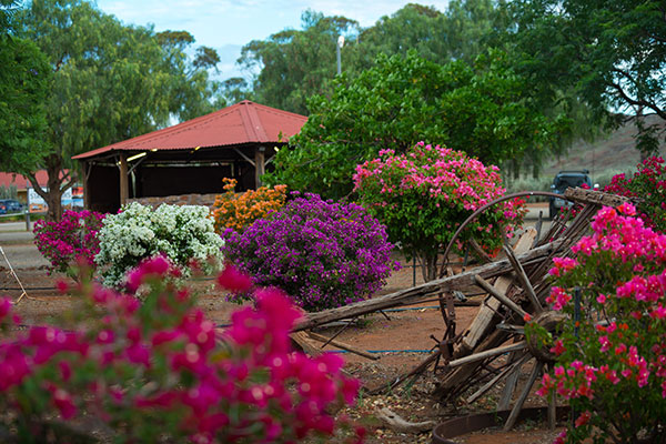 Blooming -bougainvilleas -at -Fraser -Range -Station -WA