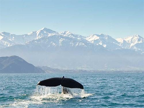 Sperm -whale -Kaikoura