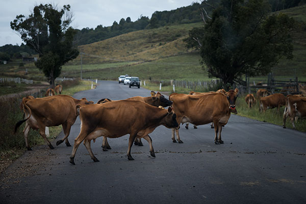 Cows -crossing -the -road