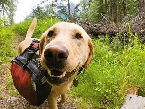 Travelling -dog