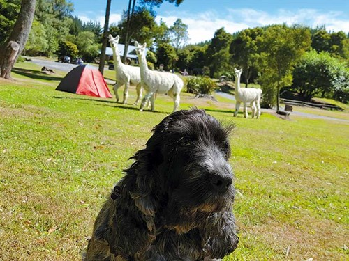 The -alpacas -in -Taupo -were -obsessed -with -Minnie!