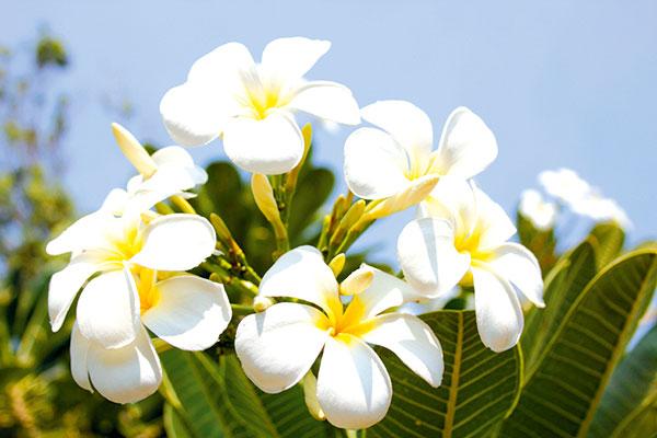 Frangipani -flowers -at -Beagle -Bay