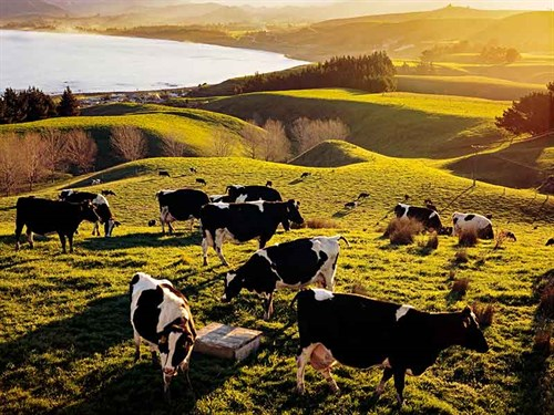 M.bovis --affected -New --Zealand --cattle