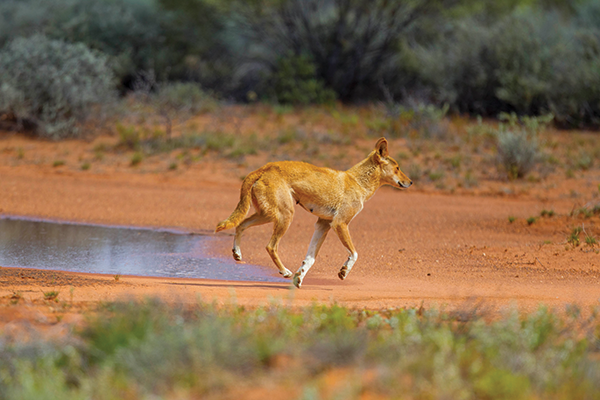 Dingo -running -in -the -outback -Australia