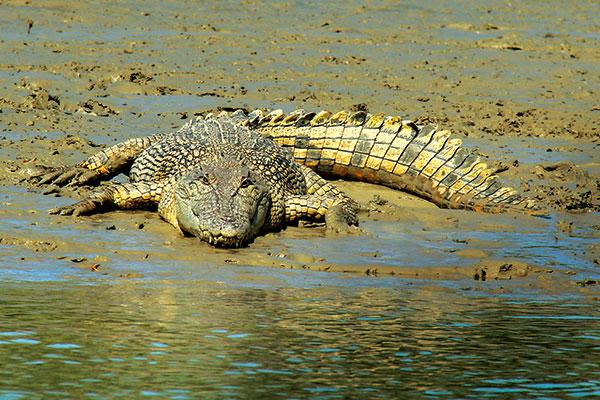 A-3-metre -estuarine -saltwater -crocodile -on -bank -of -the -Norman -River -Karumba -Qld