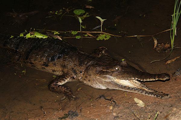 A-freshwater -crocodile -in -Lake -Kununurra -Kununurra -WA