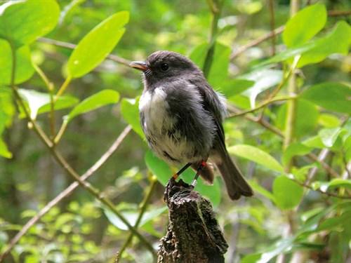 Whelan _19-Stewart -Island -robin