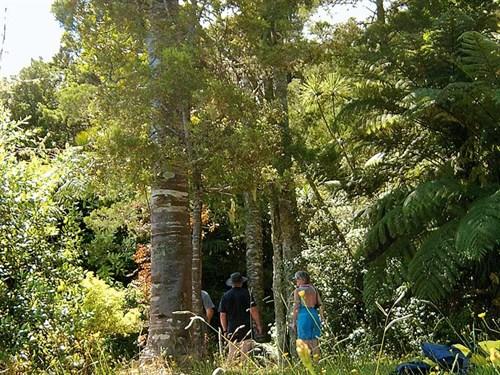 Whelan _7-Kauri -grove -on -the -Pataua -River