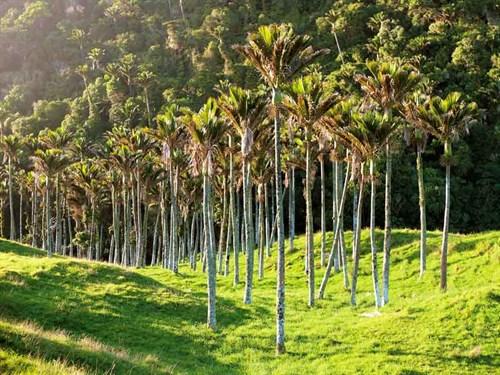 Nikau -palms