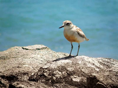 Whelan _10-Dotterel -at -Waikato -Bay
