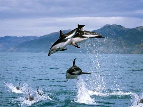 The -acrobatic -dusky -dolphins