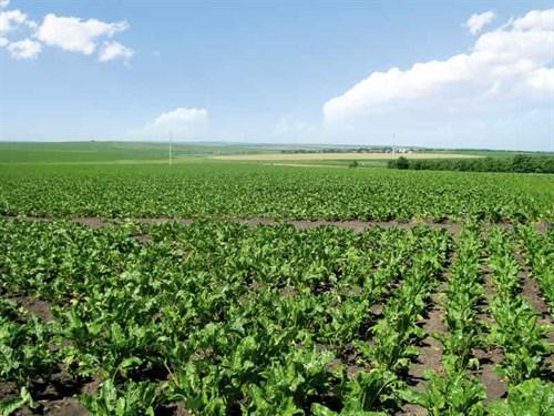 Sugar -beet -field -1317913