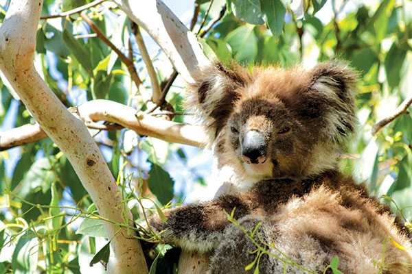 Koala -on -a -tree -in -wilderness