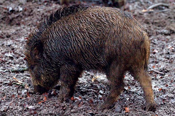 Wild -swine -vindaloo -2
