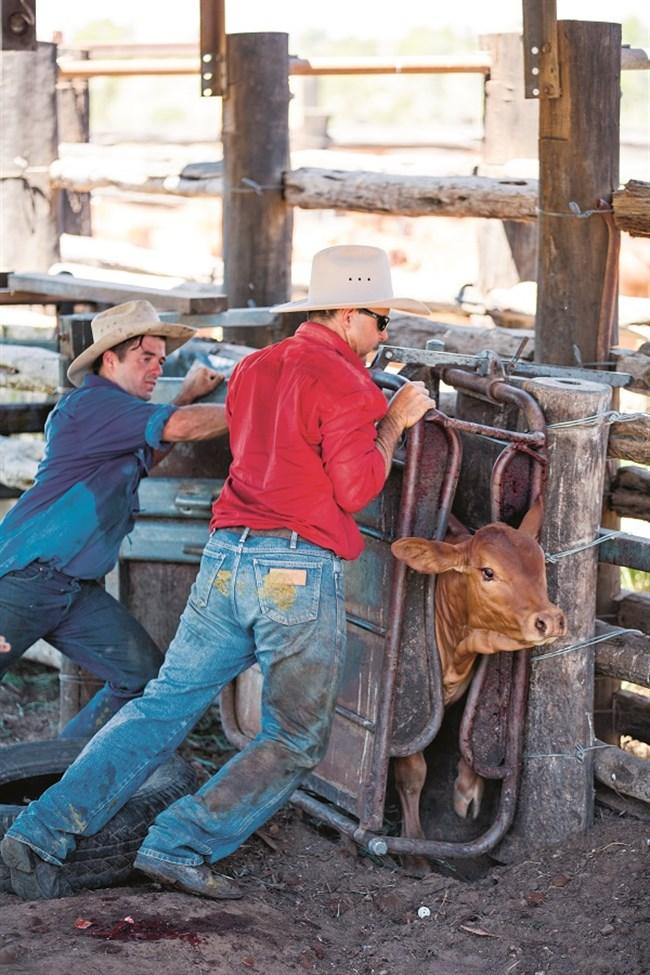 Fred Appleton -cattle Branding