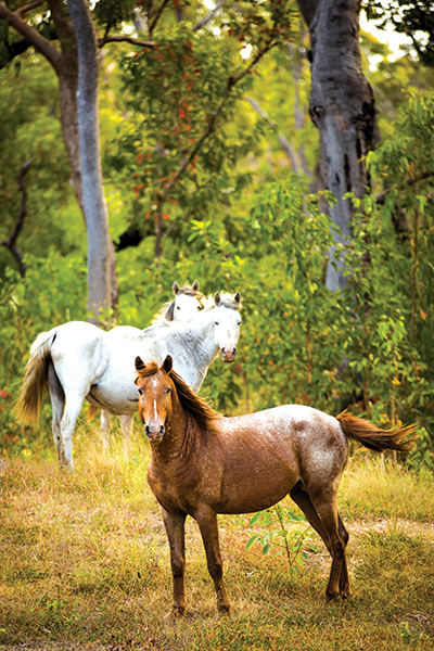 Horses -at -Cape -York