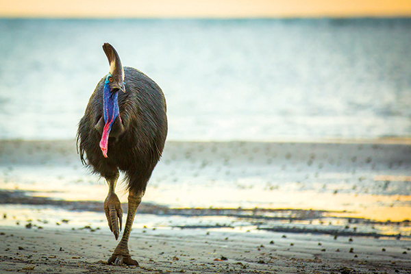 Cassowary -at -the -beach -in -Cape -York