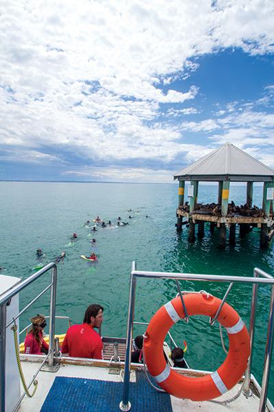 Sea -All -Dolphin -Swims -Queenscliff