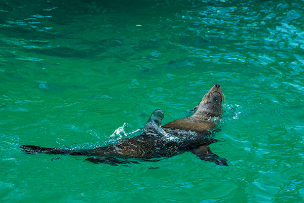 Seal -swimming -Queenscliff -Sea -All -Dolphin -Swims