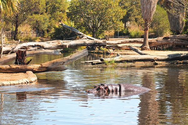 Hippo -at -Werribee -Open -Range -Zoo