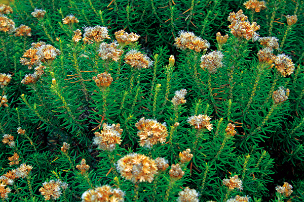 Flowers -at -Great -Ocean -Road
