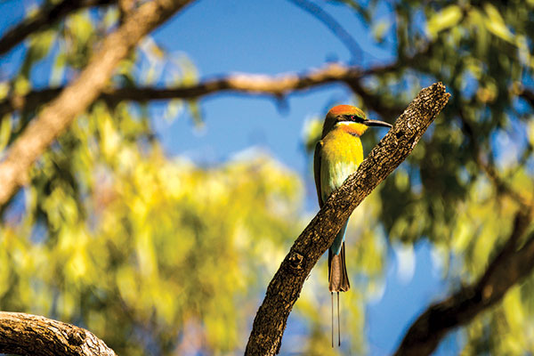 Butterfly -bee -eater -at -the -Limmen -National -Park -NT