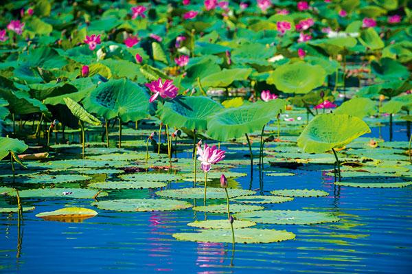 Kakadu -lily -pads -NT