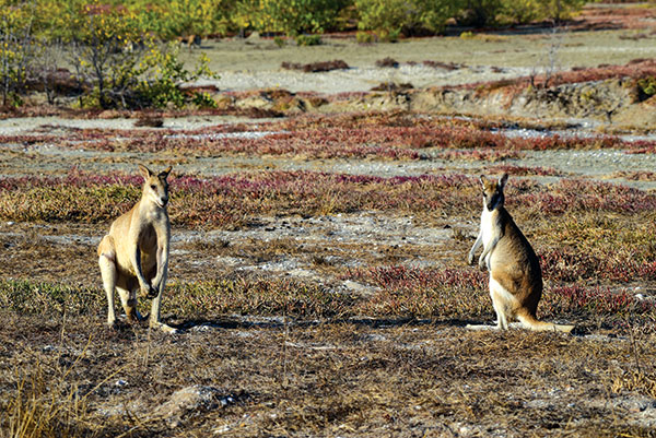 Kangaroos -at -the -floodplains -of -the -Gulf