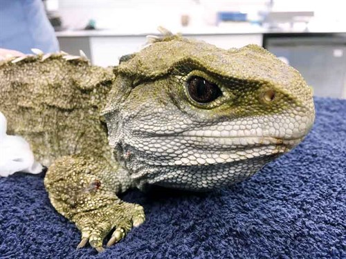 All -native -animals ,-including -tuatara ,-are -treated -at -WIldbase -Hospital