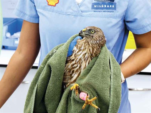 Kahu ,-or -Harrier -Hawk -are -frequent -patients ,-often -affected -by -lead -poisoning