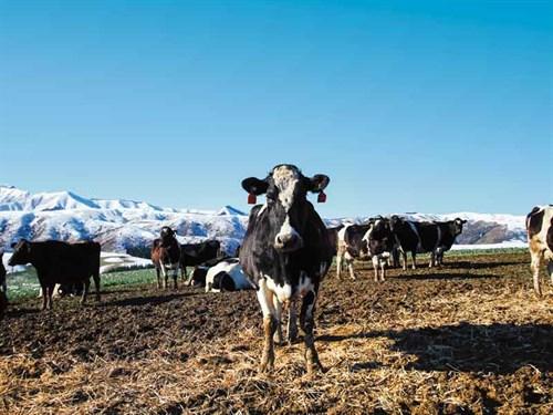 Cows -898319194