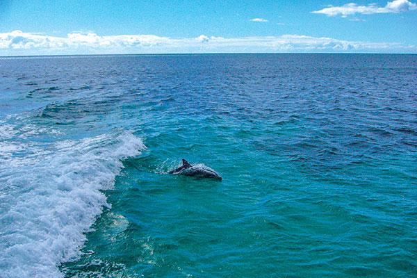 Dolphins -at -Kangaroo -Island -SA