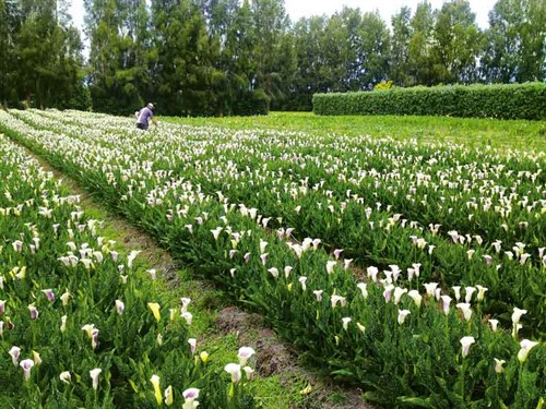 Bulb -farming 04