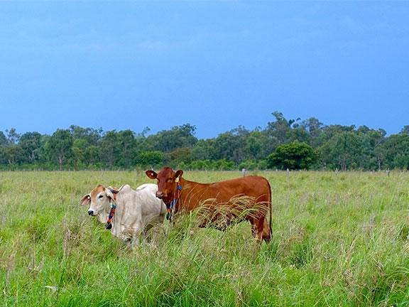 Cattle grazing wearing eShepherd Collar, Queensland