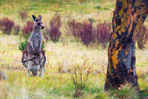 Kangaroos -in -the -wild