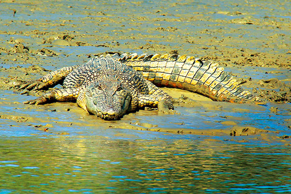 A-3-metre -estuarine -saltwater -crocodile -on -bank -of -the -Norman -River -Karumba -Qld