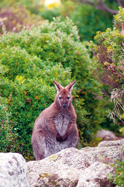 Kangaroo -in -the -wild