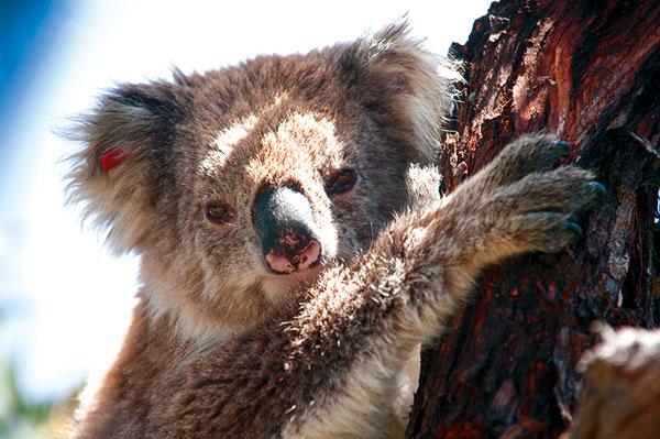 Koala -on -the -tree