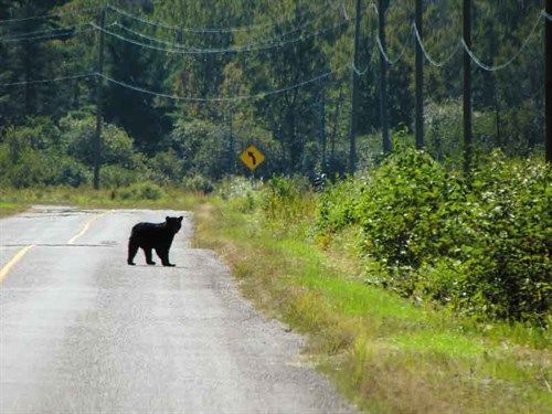 Whelan _7-Black -bear -on -the -road