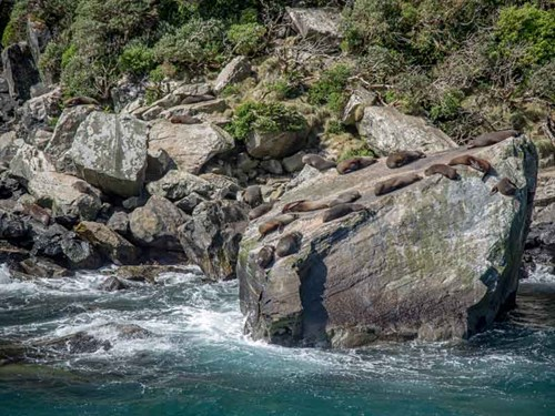 Getty _The -first -explorers -almost -wiped -out -the -Milford -Sound -seals