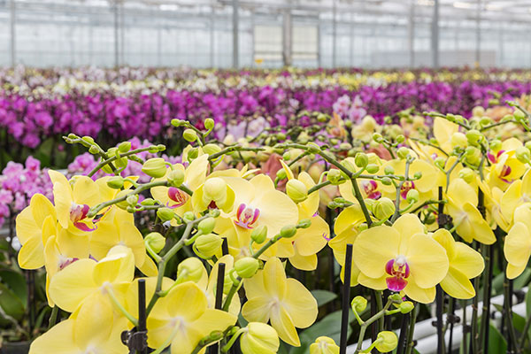 Orchids -in -a -greenhouse