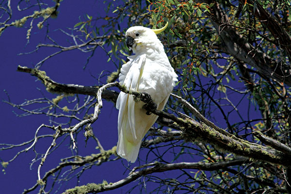 Cockatoo -in -High -Country -Australia
